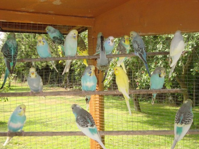 budgies breeding pair | OLM Shop || Free Buy and Sell and