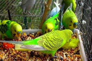 budgies breeding pair